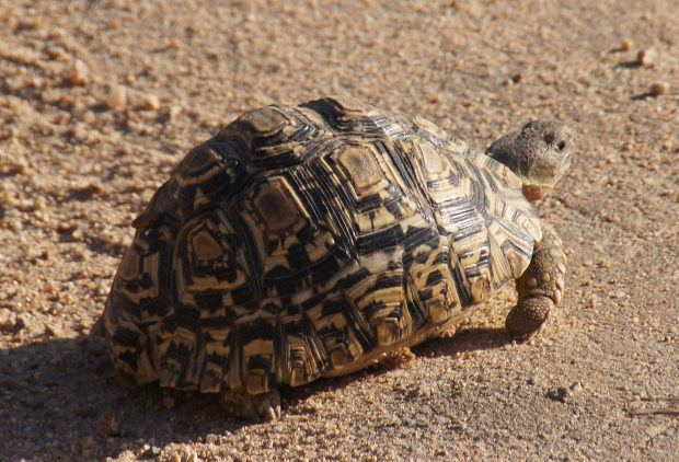 Geometry and Animals Leopard Tortoise
