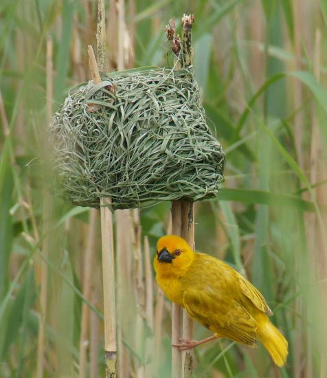 Geometry and Animals Sad Weaver Bird Bad Nest